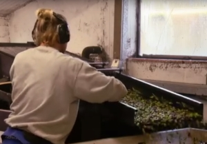 Test Acidity of olive oil in mill without chemical laboratory and skilled staff